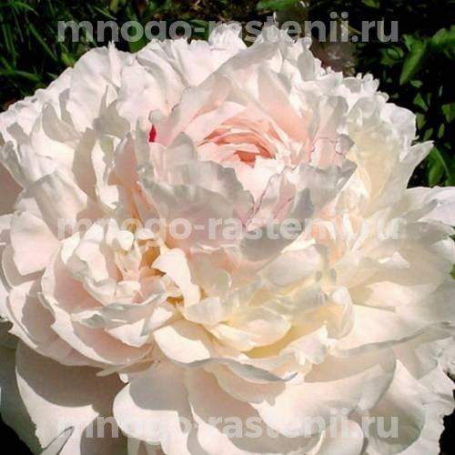 Пион молочноцветковый Ник Шейлор