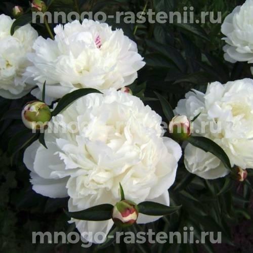 Пион молочноцветковый Нэнси Николлз