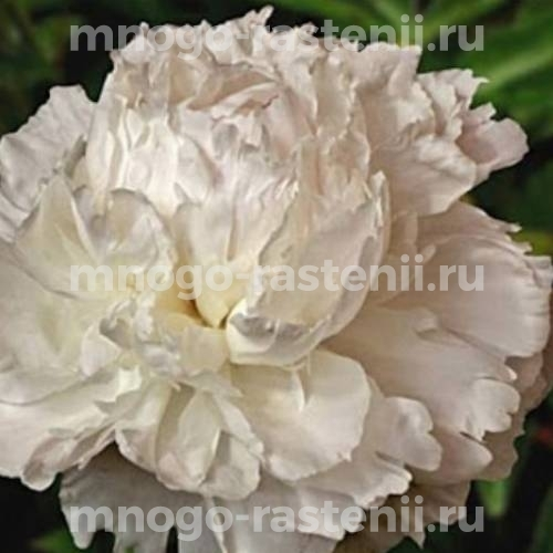 Пион молочноцветковый Одиль
