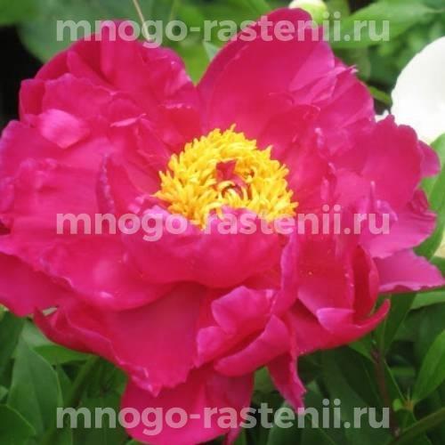 Пион молочноцветковый Осло