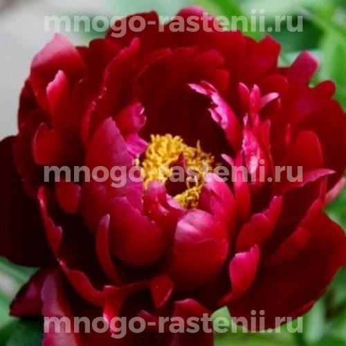 Пион молочноцветковый Петер Бранд