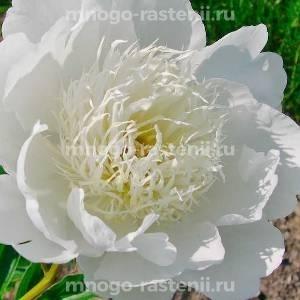 Пион молочноцветковый Брайдс Дрим