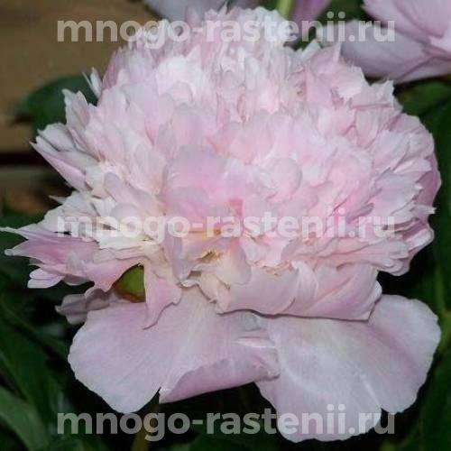 Пион молочноцветковый Алерти