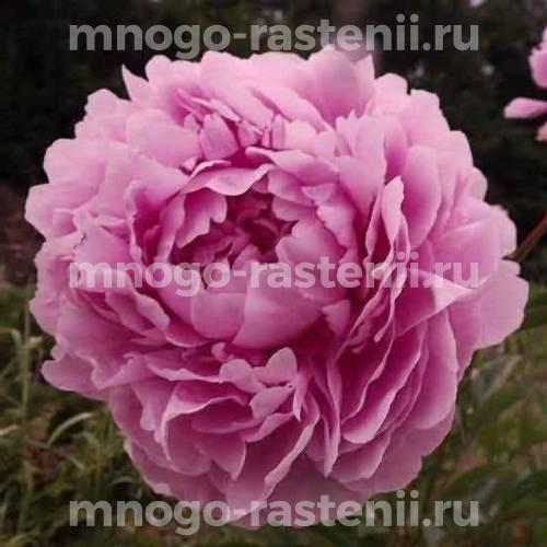 Пион молочноцветковый Урсинов