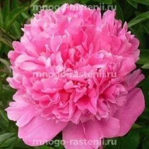 Пион молочноцветковый Александр Флеминг