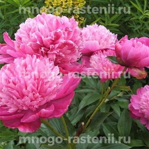 Пион молочноцветковый Барбара