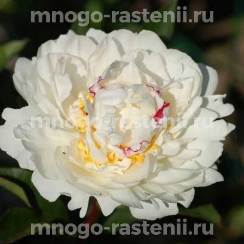 Пион молочноцветковый Буль де Неж
