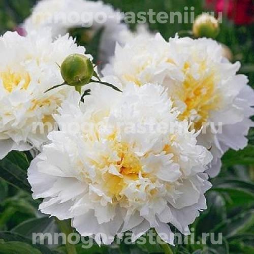 Пион молочноцветковый Чеддер Чиз
