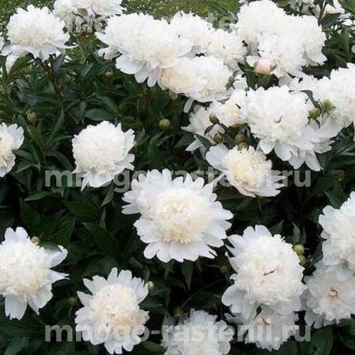 Пион молочноцветковый Дюшес де Немур