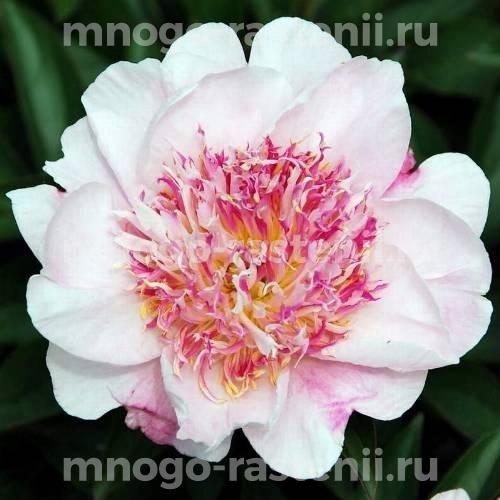 Пион молочноцветковый Ду Телл