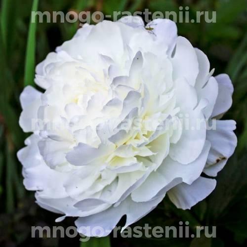 Пион молочноцветковый Эльза Сасс