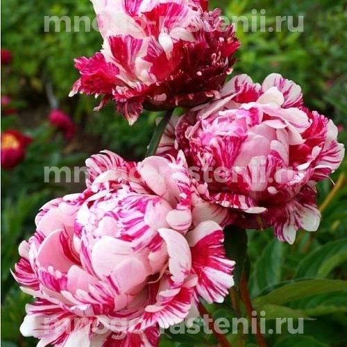 Пион молочноцветковый Кэнди Страйп