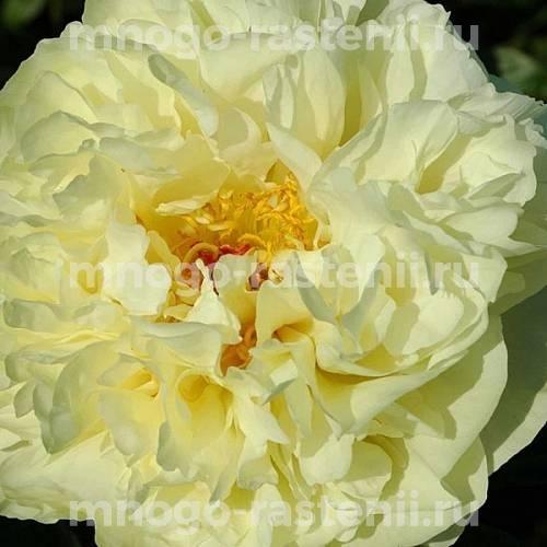 Пион молочноцветковый Лемон Шиффон