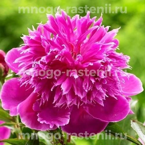 Пион молочноцветковый Пёрпл Спайдер