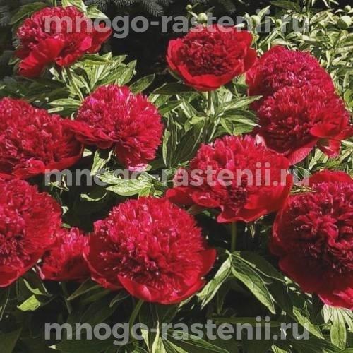 Пион молочноцветковый Ред Чарм