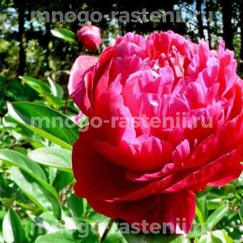 Пион молочноцветковый Ред Сара Бернар