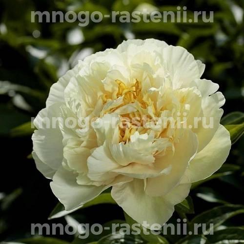 Пион молочноцветковый Санни Гёрл