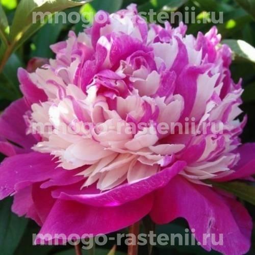 Пион молочноцветковый Селебрити