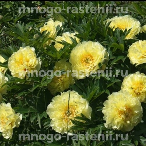 Пион молочноцветковый Бартзелла
