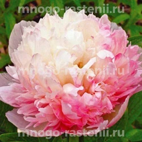 Пион молочноцветковый Мутабелис плена