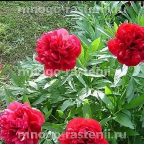 Пион молочноцветковый Рубра Плена