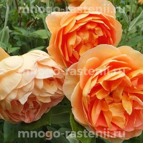 Роза Пэт Остин