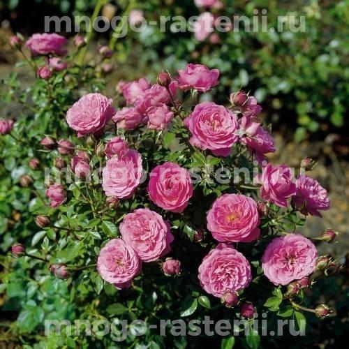 Роза Блуэнет