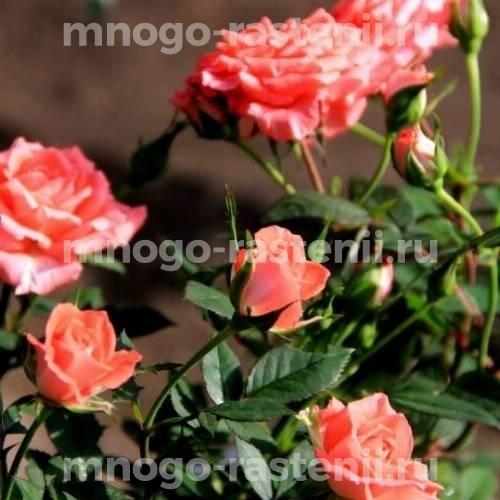 Роза Аллегро симфония