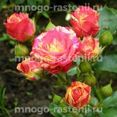 Роза Бигуди
