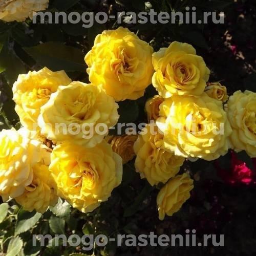 Роза Голд