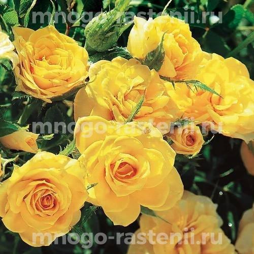 Роза Жоне