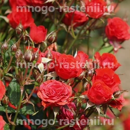 Роза Коричневая матова