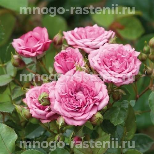 Роза Линда