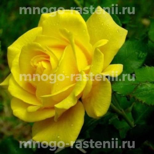 Роза Перестройка