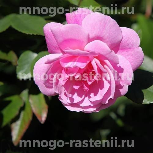 Роза Пинк Спрей