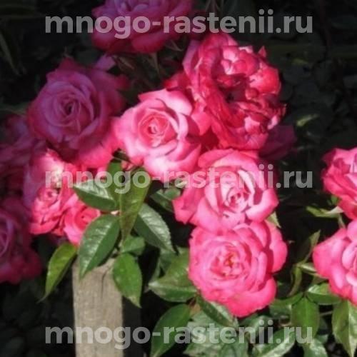 Роза Пиппи
