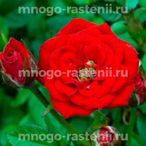 Роза Ред Мин