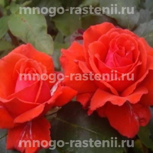 Роза Ред Эльф