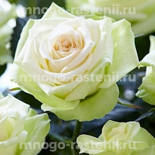Роза Хонора