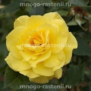Роза Атлантик Палас