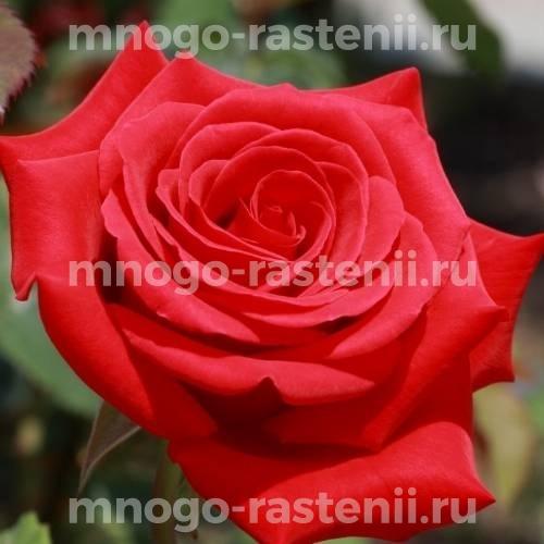 Роза Микадо