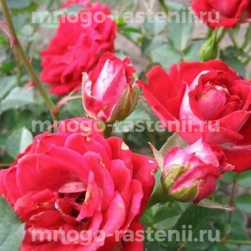 Роза Мэйди