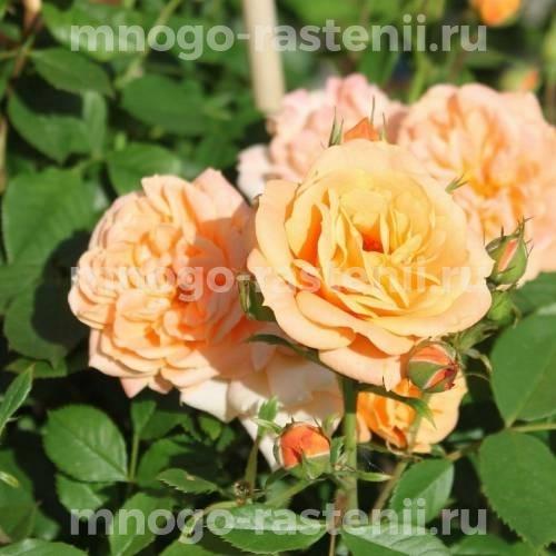 Роза Априкот Клементин
