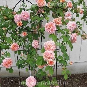 Роза Алхимист