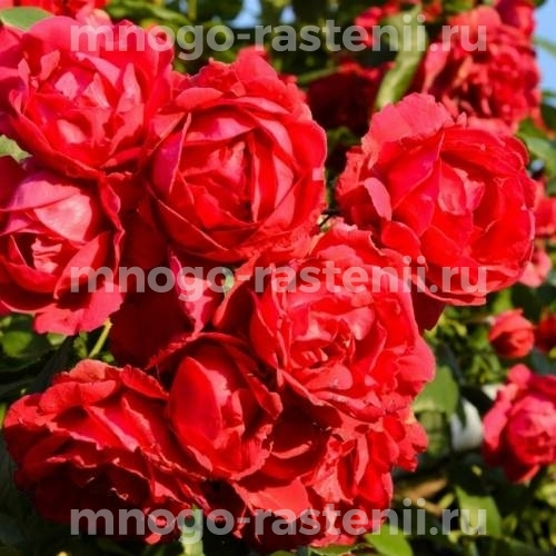 Роза Бельканто