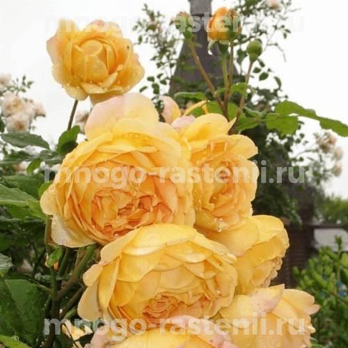 Роза Годен Флис
