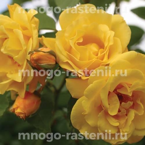 Роза Голден Клайм