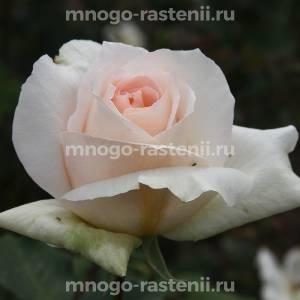 Роза Гранд Могул