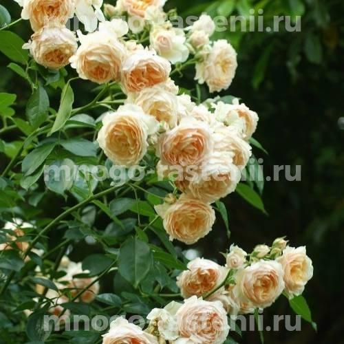 Роза Джинджер Силлабаб