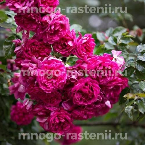 Роза Лагуна
